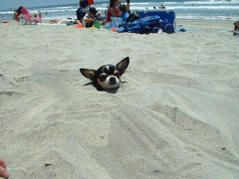 Resultado de imagen para chihuahua sand